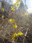Fall Flowering Forsythia 002